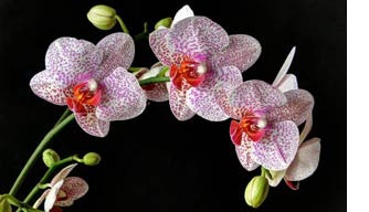 Orchids for 28th anniversary